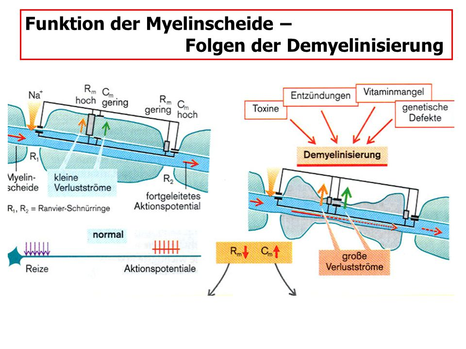 Funktion der Myelinscheide – Folgen der Demyelinisierung
