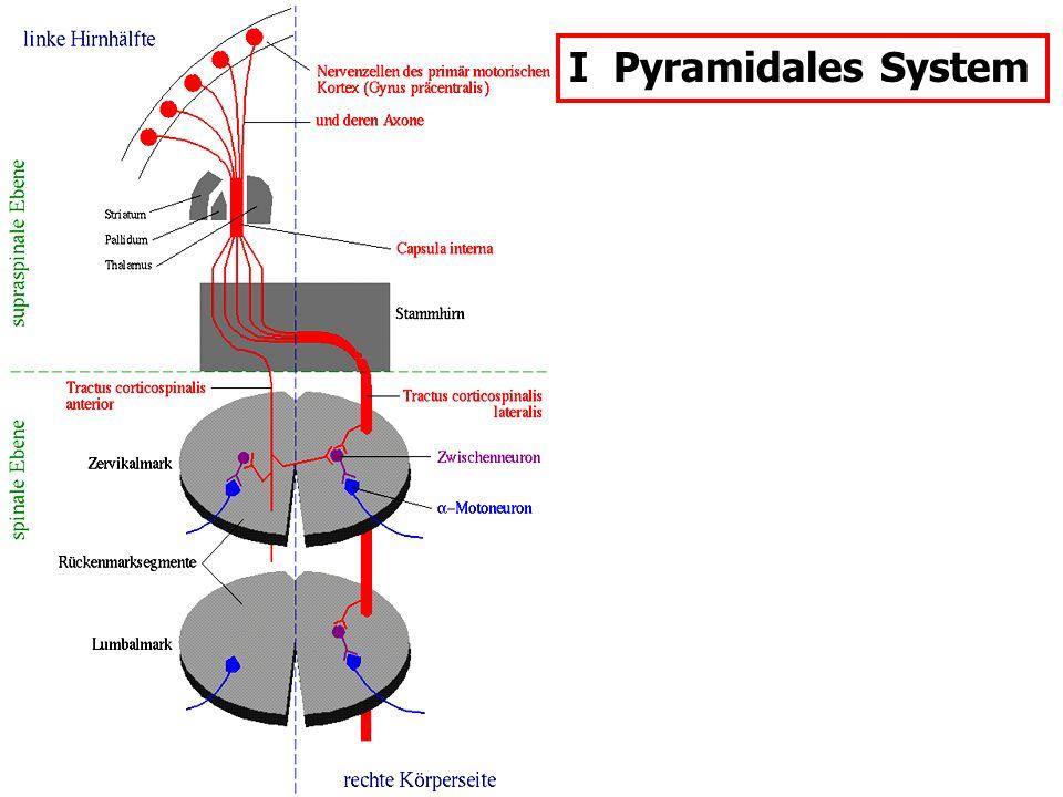 I Pyramidales System SPASMOS = Krampf