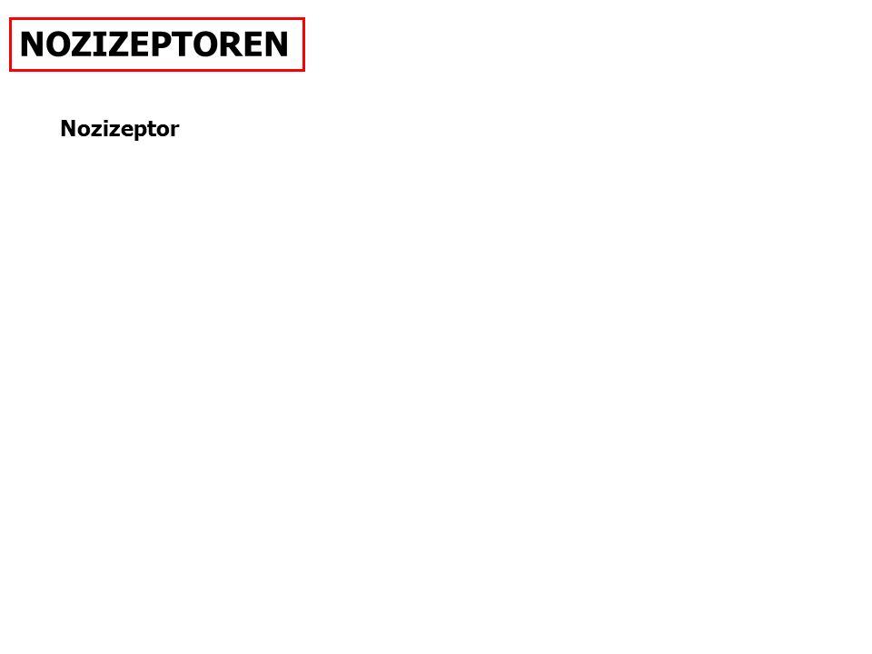 NOZIZEPTOREN Nozizeptor SYNAPSE; REFLEX; NOCICEPTOR