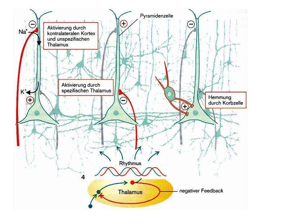 Dipol: verschiden polare postsynaptische Potentiale an den Enden der Apikaldendriten der Pyramidenzellenbeiden