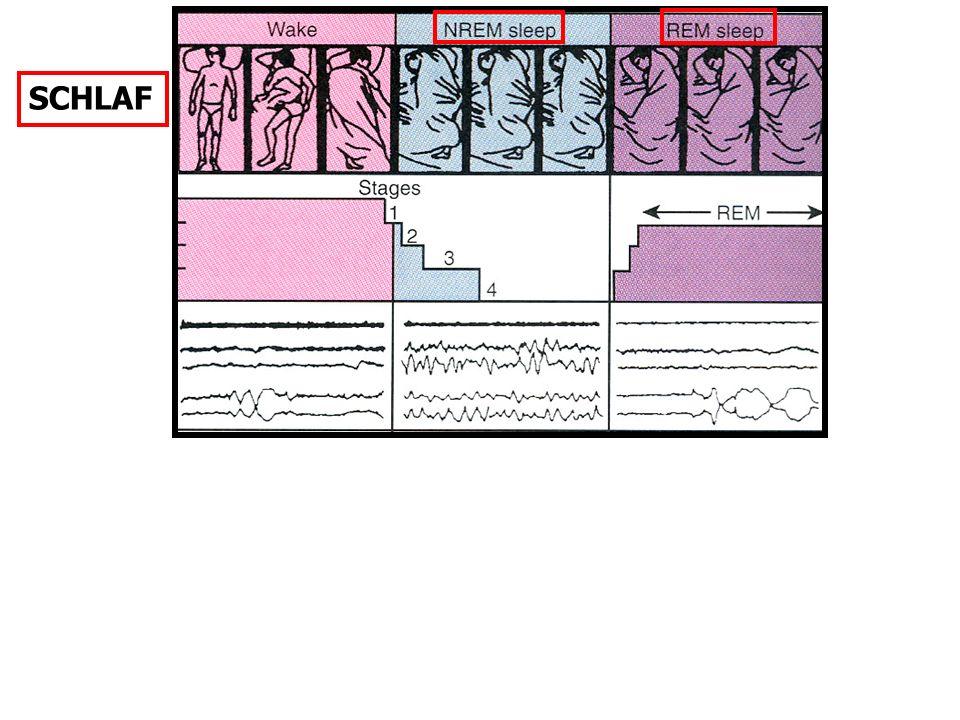 SCHLAF REM: anatomiche und chromosomale Gegebenheiten vorausgesetzt: PENIS-Erektion