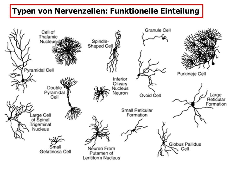 Typen von Nervenzellen: Funktionelle Einteilung