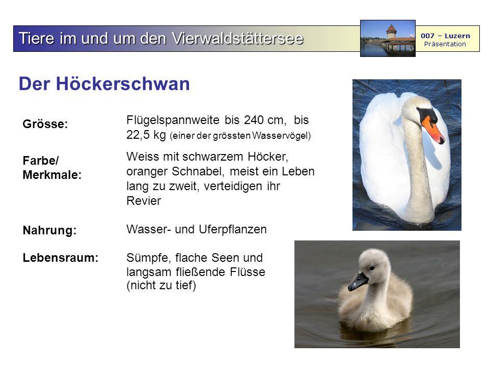 Der Höckerschwan Tiere im und um den Vierwaldstättersee