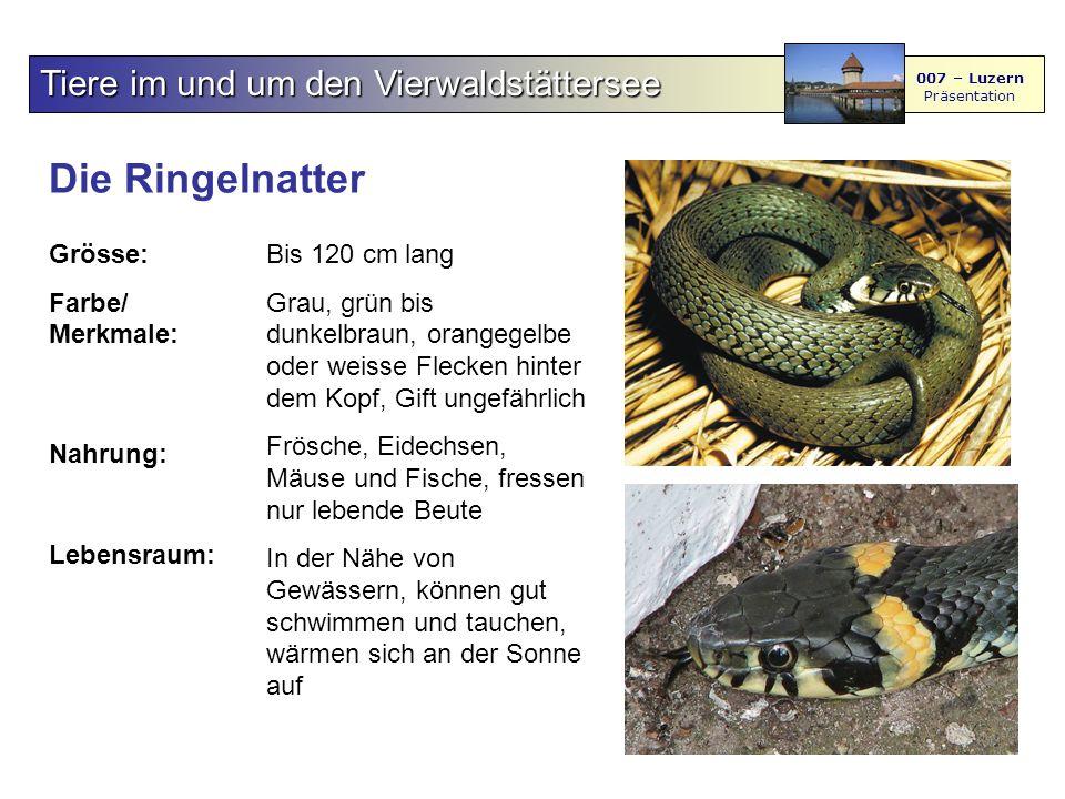 Die Ringelnatter Tiere im und um den Vierwaldstättersee Grösse: Farbe/