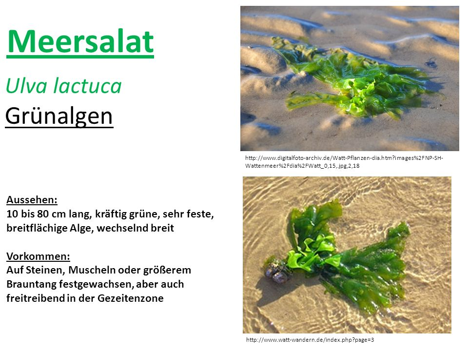 Meersalat Grünalgen Ulva lactuca Aussehen: