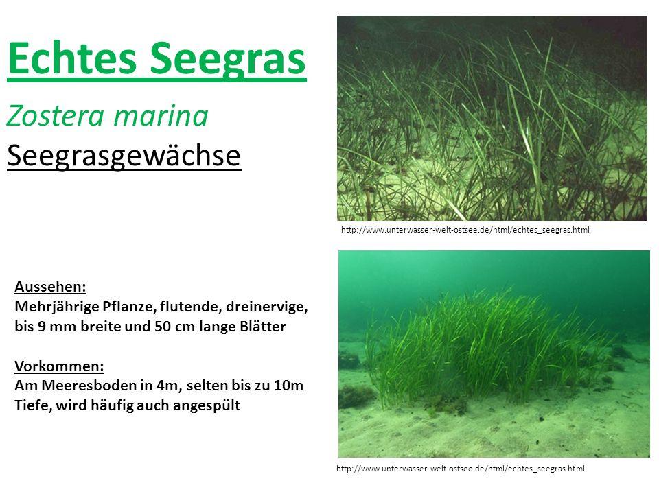 Echtes Seegras Zostera marina Seegrasgewächse Aussehen: