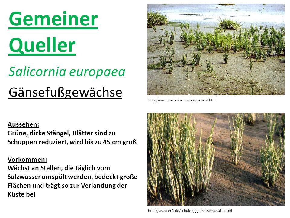 Gemeiner Queller Salicornia europaea Gänsefußgewächse Aussehen: