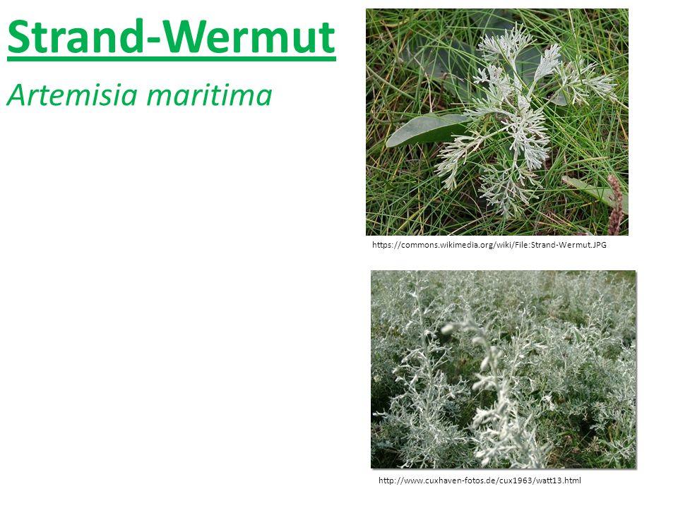 Strand-Wermut Artemisia maritima