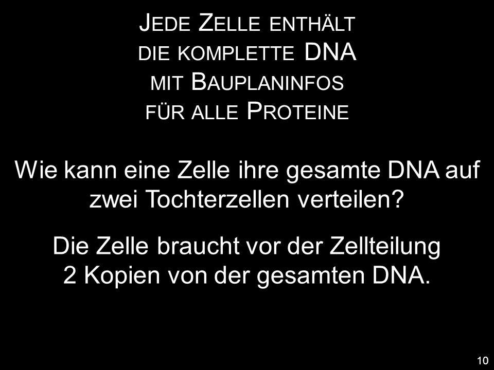 Wie kann eine Zelle ihre gesamte DNA auf zwei Tochterzellen verteilen