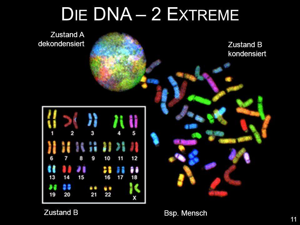 Die DNA – 2 Extreme Zustand A dekondensiert Zustand B kondensiert