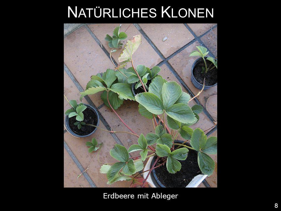 Natürliches Klonen Erdbeere mit Ableger