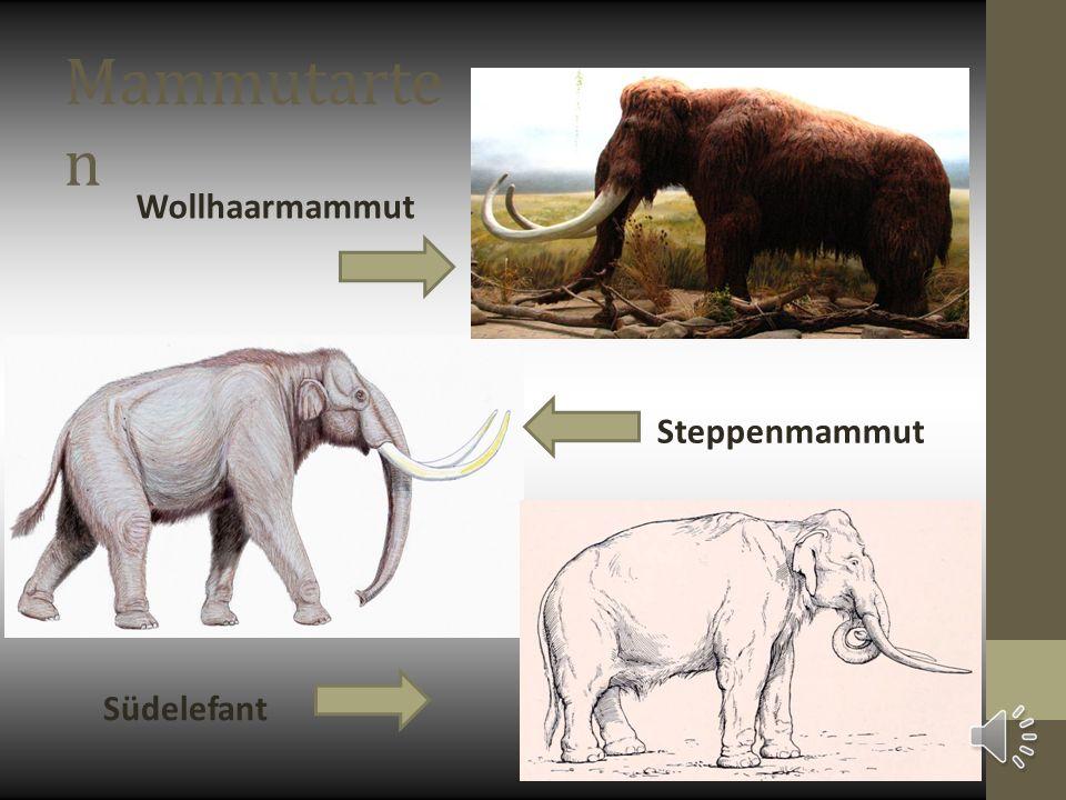 Mammutarten Wollhaarmammut Steppenmammut Südelefant