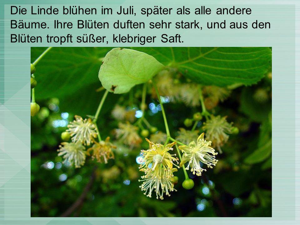 Die Linde blühen im Juli, später als alle andere Bäume