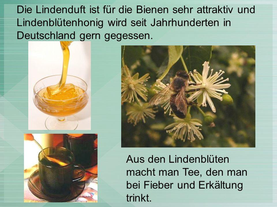 Die Lindenduft ist für die Bienen sehr attraktiv und Lindenblütenhonig wird seit Jahrhunderten in Deutschland gern gegessen.