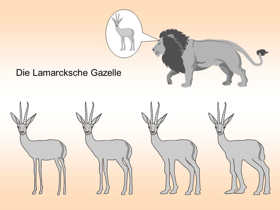 Die Lamarcksche Gazelle