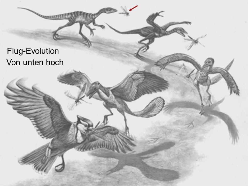 Flug-Evolution Von unten hoch