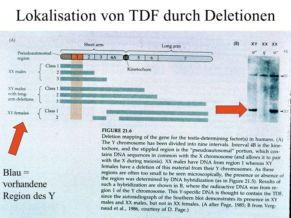 Lokalisation von TDF durch Deletionen
