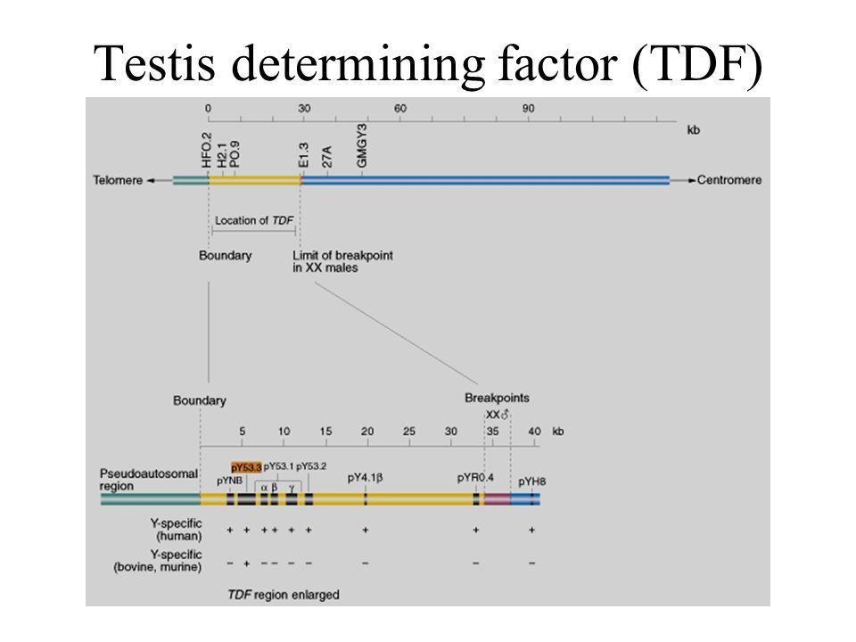 Testis determining factor (TDF)