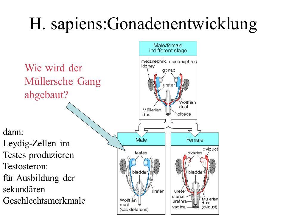 H. sapiens:Gonadenentwicklung
