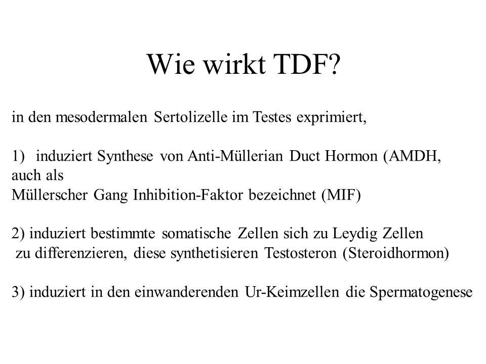 Wie wirkt TDF in den mesodermalen Sertolizelle im Testes exprimiert,