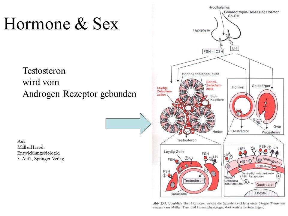Hormone & Sex Testosteron wird vom Androgen Rezeptor gebunden
