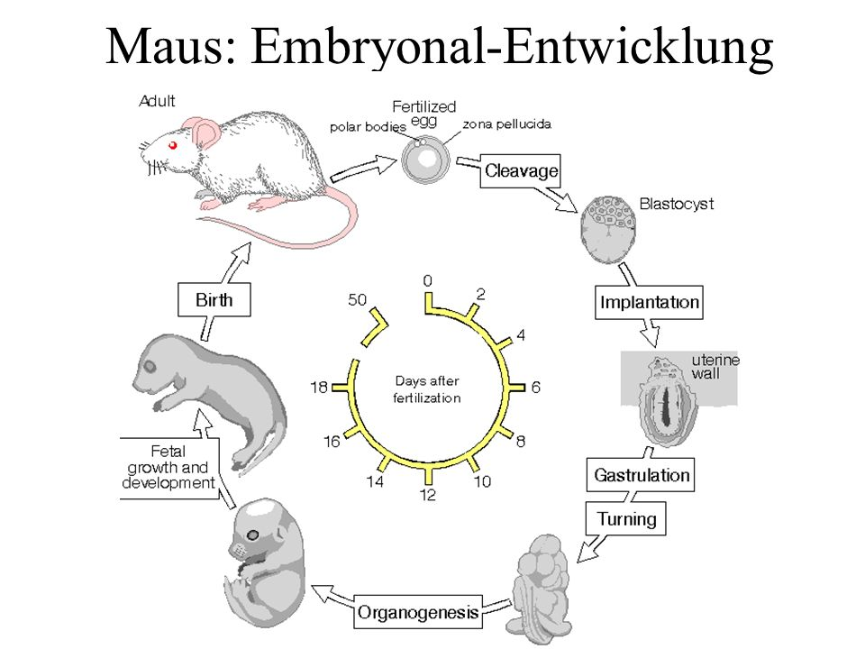 Maus: Embryonal-Entwicklung