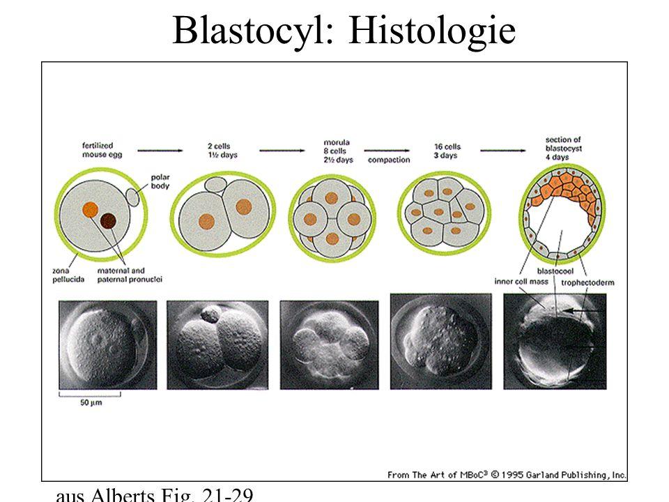 Blastocyl: Histologie