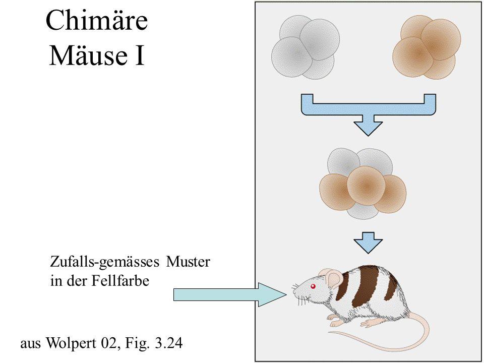 Chimäre Mäuse I Zufalls-gemässes Muster in der Fellfarbe
