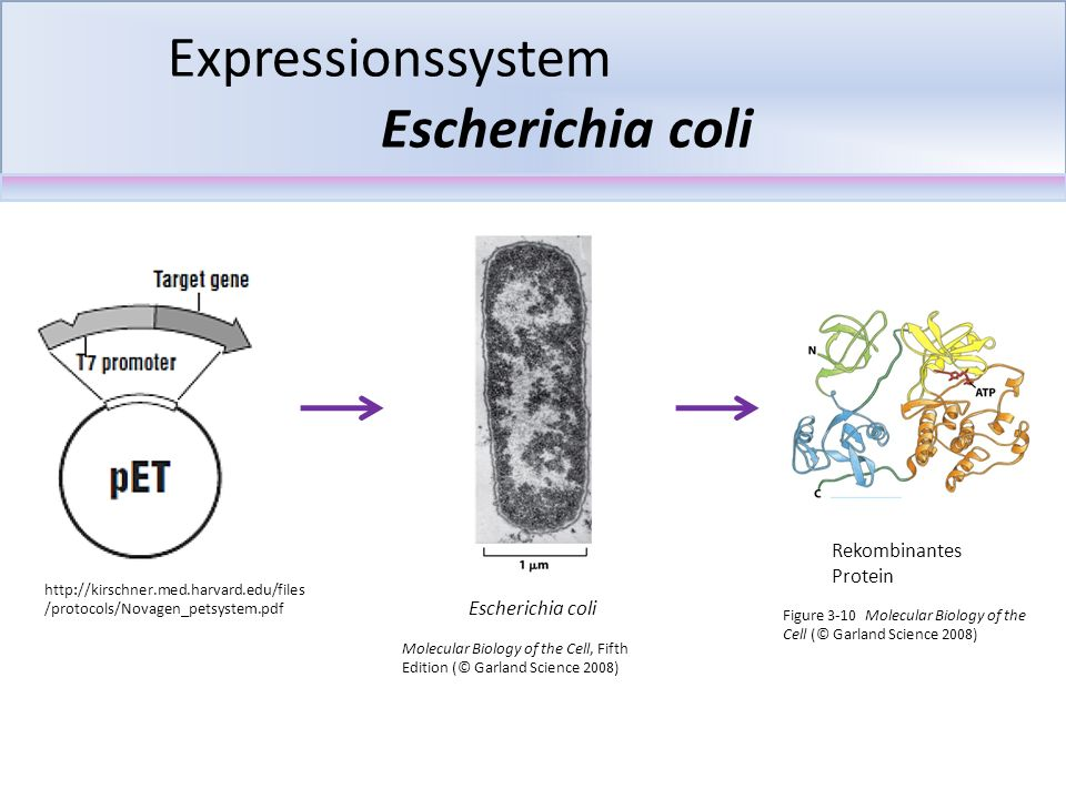 Expressionssystem Escherichia coli