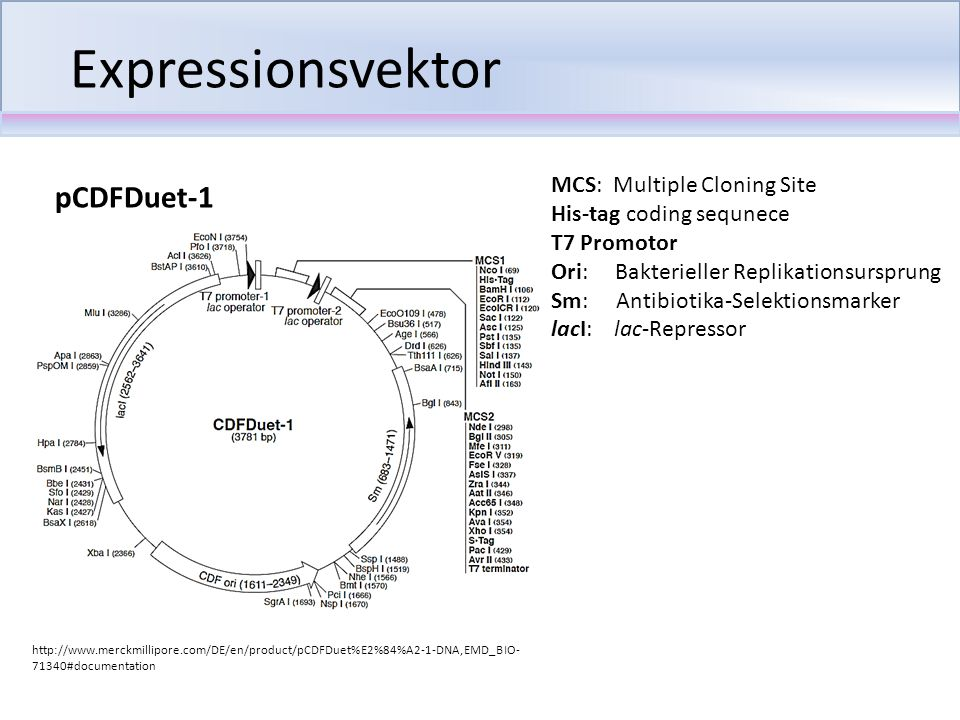 Expressionsvektor pCDFDuet-1 MCS: Multiple Cloning Site