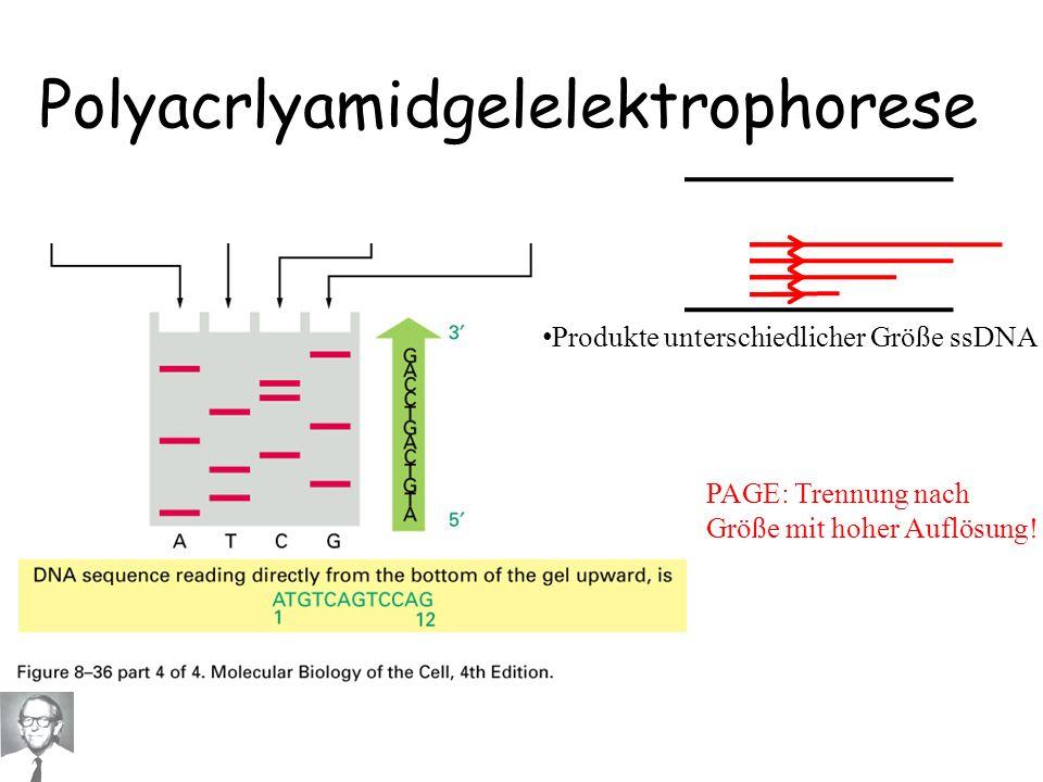 Polyacrlyamidgelelektrophorese