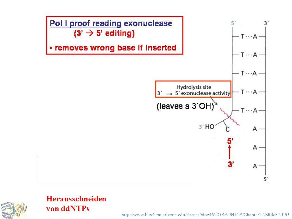DNA-Polymerase Herausschneiden von ddNTPs