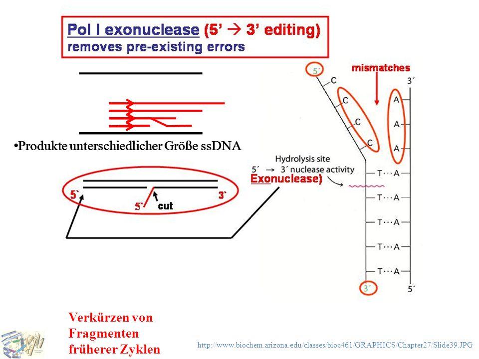 Produkte unterschiedlicher Größe ssDNA