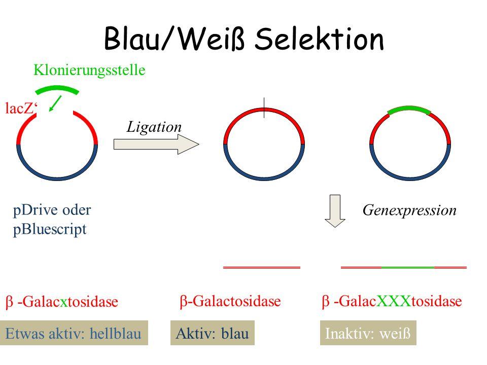 Blau/Weiß Selektion Klonierungsstelle pDrive oder pBluescript lacZ'
