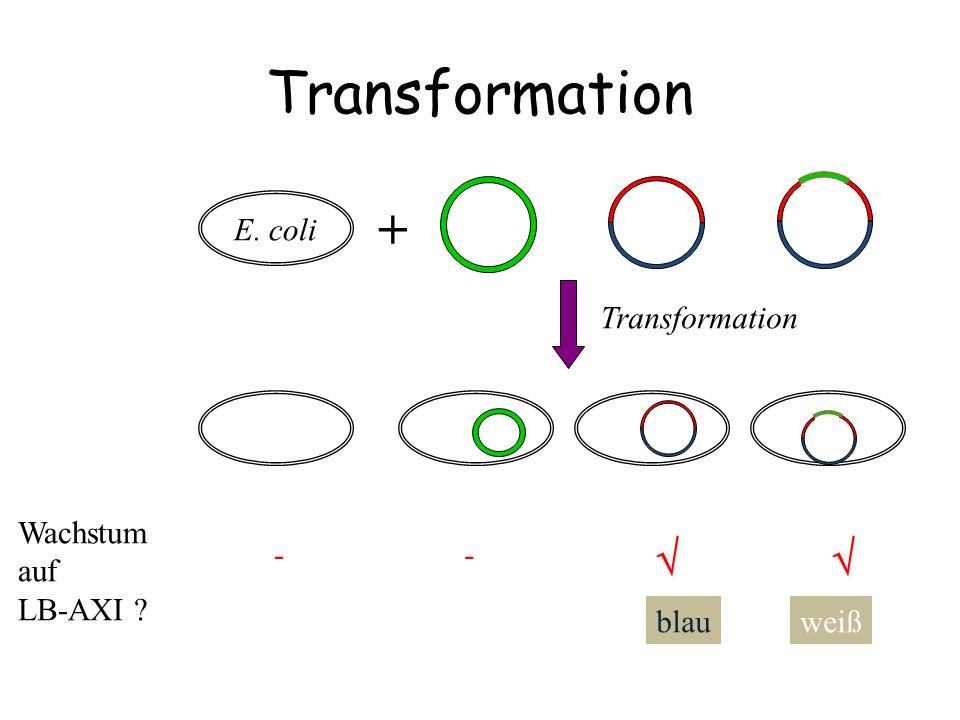 Transformation +   Transformation E. coli Wachstum auf LB-AXI - -