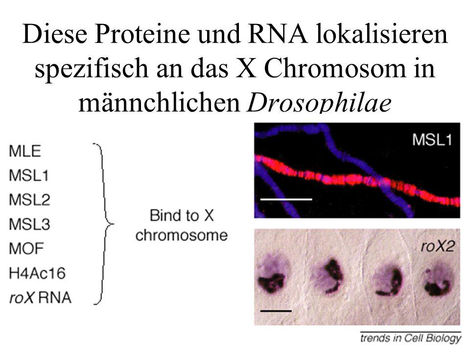 Diese Proteine und RNA lokalisieren spezifisch an das X Chromosom in männchlichen Drosophilae