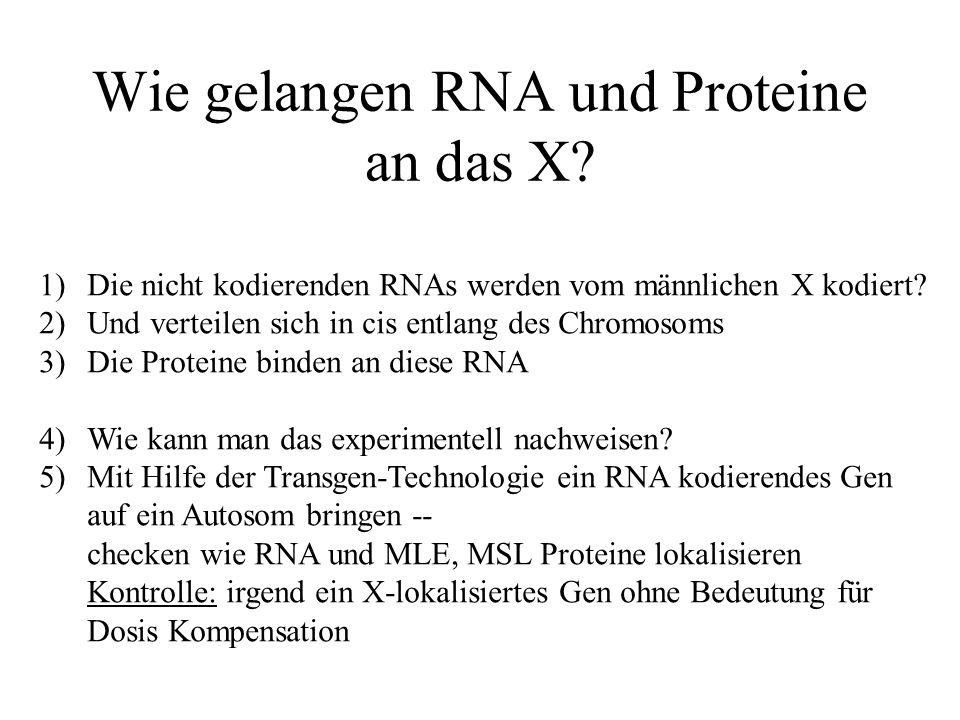 Wie gelangen RNA und Proteine an das X