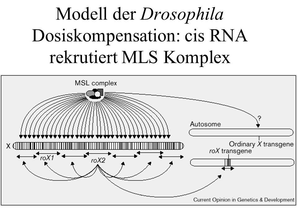 Modell der Drosophila Dosiskompensation: cis RNA rekrutiert MLS Komplex