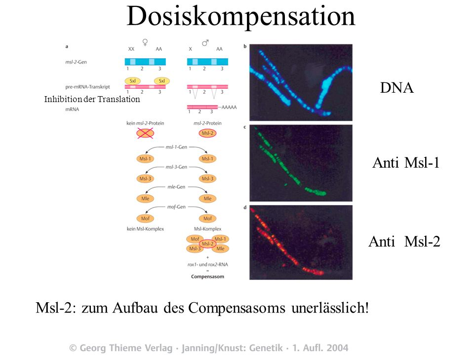 Dosiskompensation DNA Anti Msl-1 Anti Msl-2
