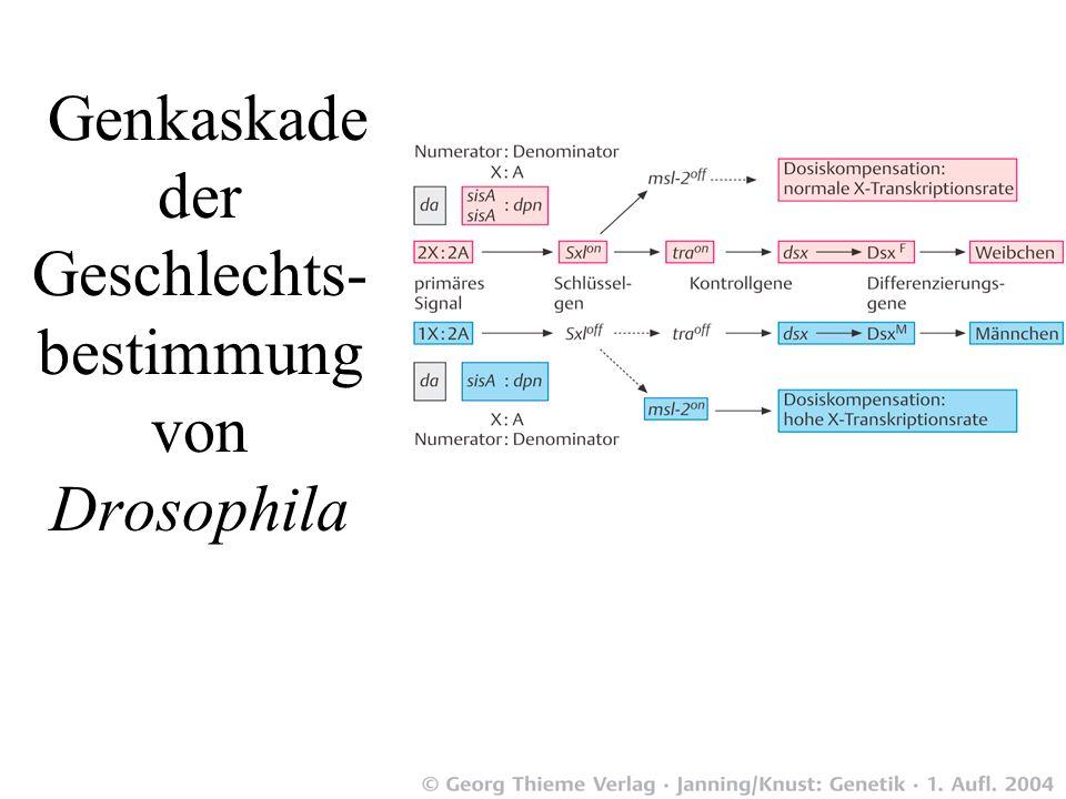 Genkaskade der Geschlechts-bestimmung von Drosophila
