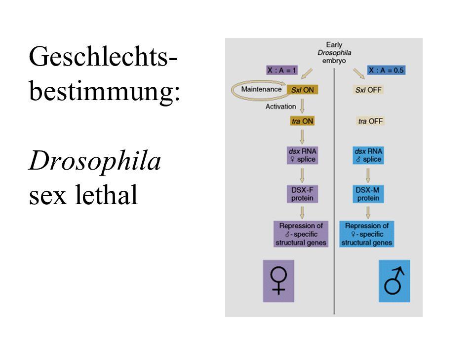 Geschlechts-bestimmung: Drosophila sex lethal