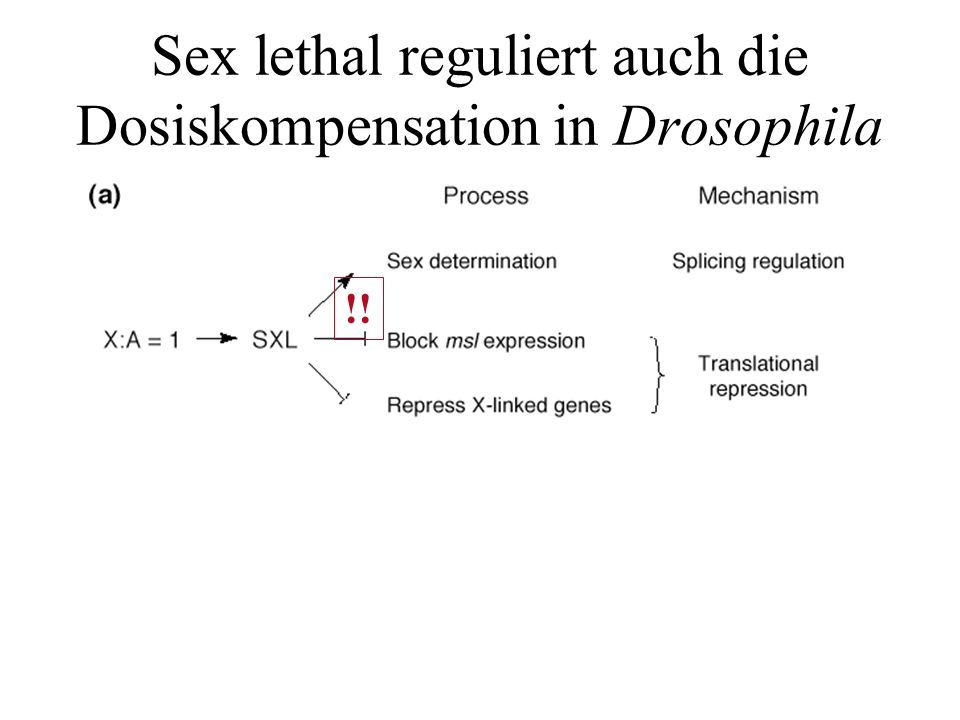 Sex lethal reguliert auch die Dosiskompensation in Drosophila