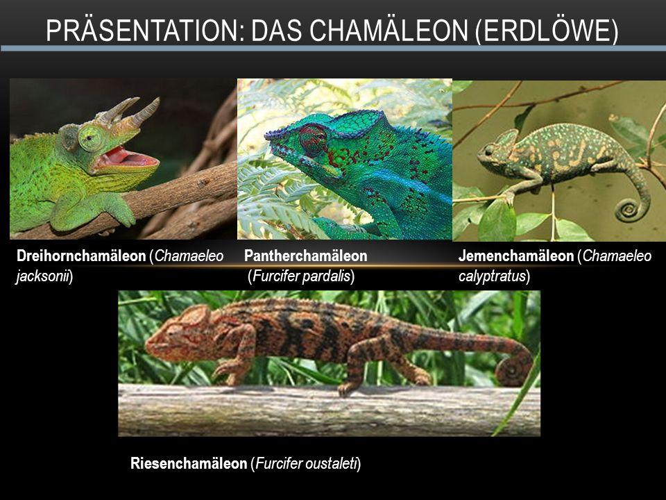Präsentation: Das Chamäleon (ERdlöwe)