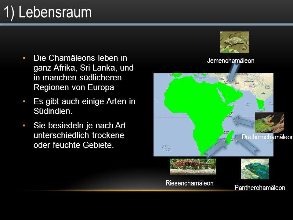 1) Lebensraum Die Chamäleons leben in ganz Afrika, Sri Lanka, und in manchen südlicheren Regionen von Europa.