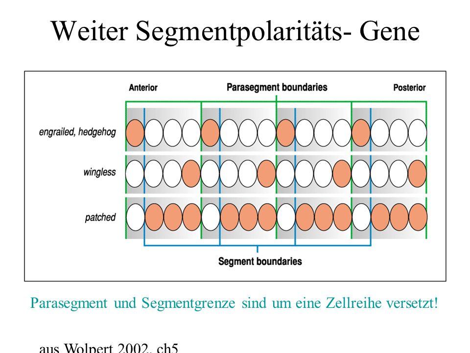 Weiter Segmentpolaritäts- Gene