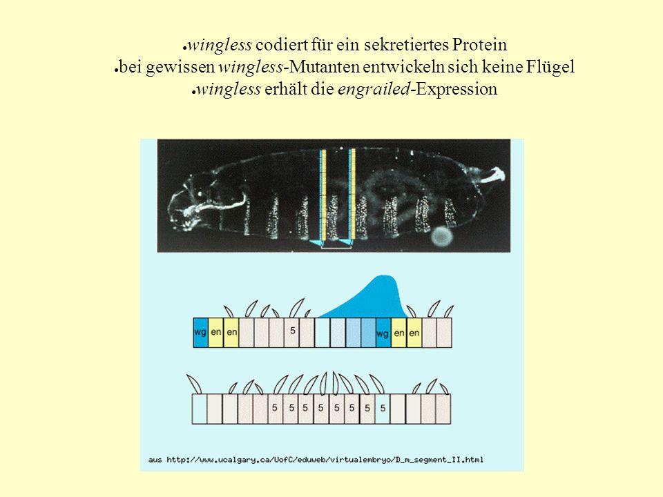 wingless codiert für ein sekretiertes Protein