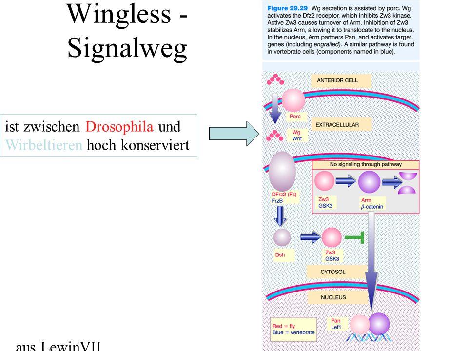 Wingless -Signalweg ist zwischen Drosophila und