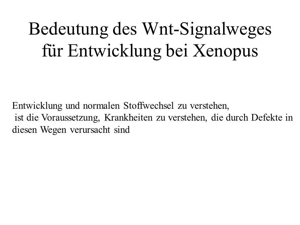 Bedeutung des Wnt-Signalweges für Entwicklung bei Xenopus