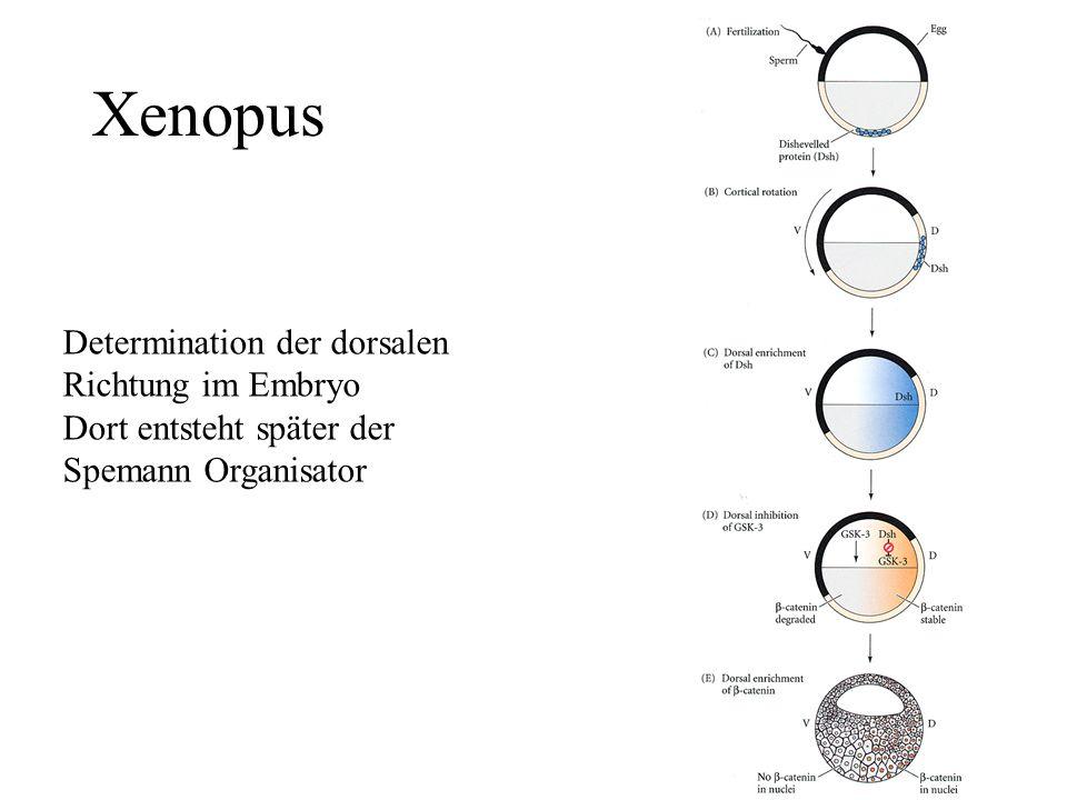 Xenopus Determination der dorsalen Richtung im Embryo