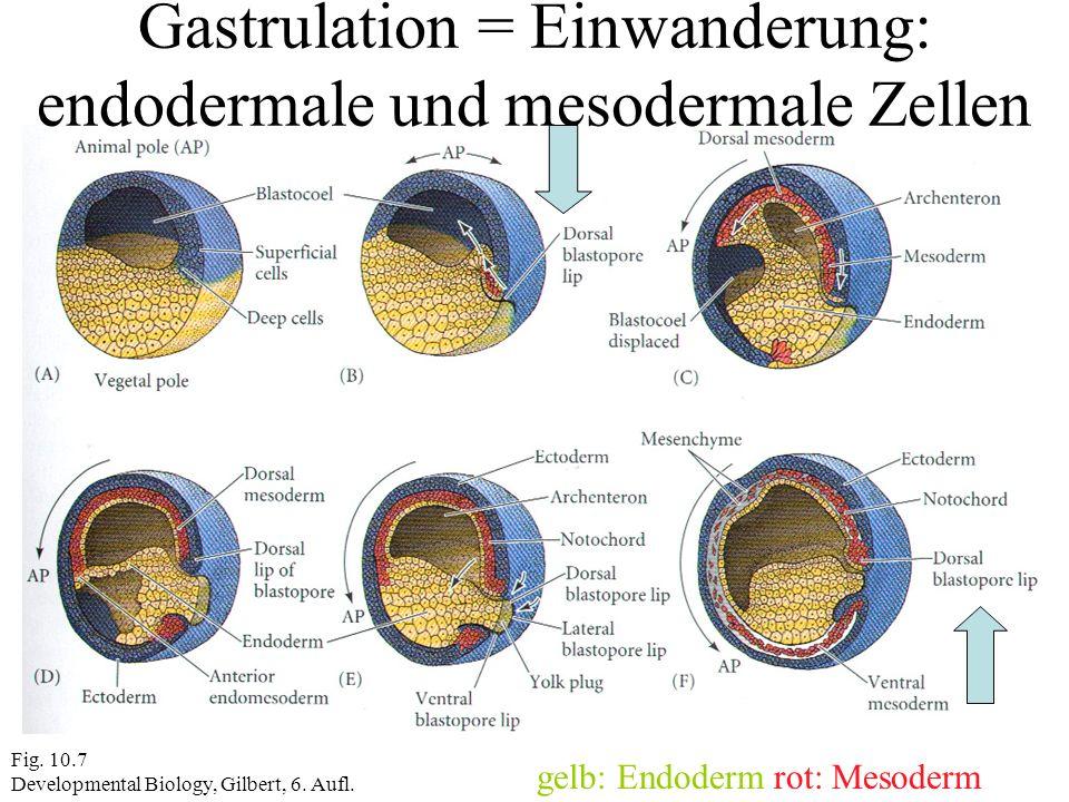 Gastrulation = Einwanderung: endodermale und mesodermale Zellen